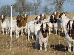 Electrical fencing for goats