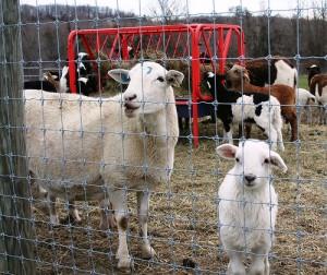 Cheap livestock fencing